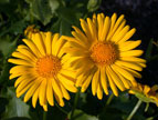 Doronicum little-leo