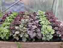Heuchera-mix2